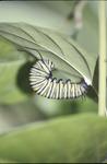 Monarch last instar