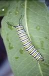 Monarch last instar on Asclepias