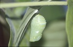 Monarch Chrysalis 10 min