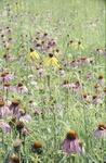 Prairie Coneflowers