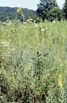 Compass Plant BFEC Prarie