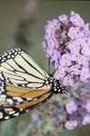Monarch Adult on Knox County by David Heithaus
