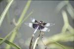 Widow Darner-Damaged Wings