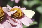 Sulfur on Echinacea
