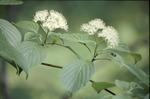 Exotic spp: European Buckthorn in flower