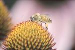 Yauger Road Honeybee on Purple Coneflower