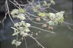BFEC Sycamore seed ball, along Kokosing River,
