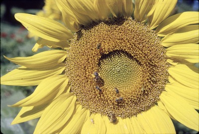 KCES Bees on Sunflower