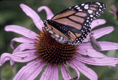 Monarch Butterfly and Purple Coneflower
