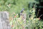 BFEC Bluebird in Garden