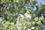 KCES Male Bluebird in tree near nest
