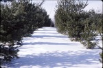 Pine Plantation in Snow 15' trees KCES
