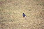 KCES Robin in grass, backlit
