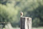 KCES Male Bluebird on post hear nest