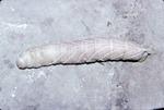 """Manduca-like caterpillar on rock (3"""" long)"""