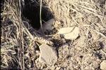 Skunk-Predated yellow jacket nest