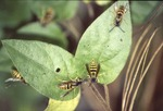KCES Yellowjackets on Honeysuckle under Aphids in white pine