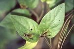 KCES-Pine Plantation-Yellowjackets under aphids