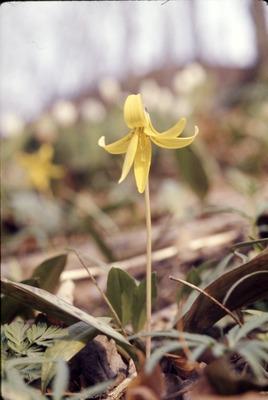 Erythronium americanum, Liliaceae, Gambier, Ohio