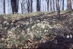 Pepper Root in Da Burns' woods, Gambier Ohio