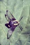 Bumble-bee mimic moth