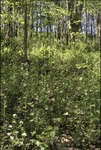 KCES-Fern Woods Garlic Mustard