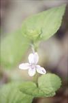 KCES-Longspur Violet Fern Woods