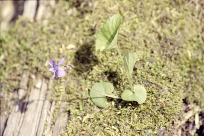 Viola growing out of log