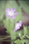KCES Fern Woods Wild Geranium