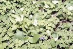 Isopyrum, Common Violet