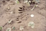 KCES Raccoon Tracks