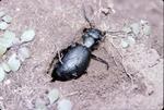 Female beetle burying