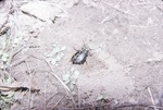 KCES Ground Beetle