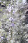 KCES-Tall Bell Flower