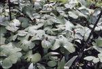 2 Wet trillium, leaves of spring, Cook Co.