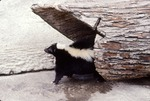 Skunk Coming out of Log, Brookfield 200