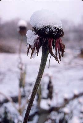 Snow on Coneflower KCES