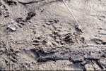 Raccoon Tracks-Wolf Run