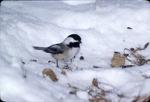 Chickadee on snow