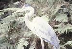 Great Blue Heron Saracota Jungle Garden, Fla.