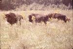 Bison in Field-LBL