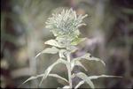 Soliago Gall-Leaf Type
