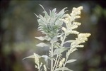 Solidago Leaf gall with flower
