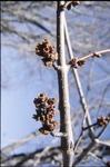 Silver Maple Flowers KCES