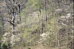 Dogwood Flowering on Hill
