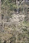 Dogwood on Hill