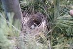 KCES Bird Nest in Pine