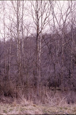 Sycamores by Wolf Run KCES