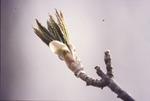 Buckeye leaves emerging
