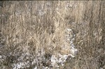 BFEC CRP Plot Foxtail-Invasive Grass by Pat Heithaus and Ray Heithaus